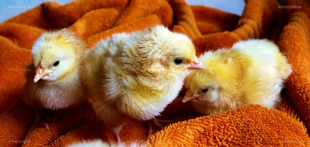 chicks-573377