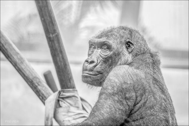 gorilla-665810