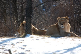 lioness-744263