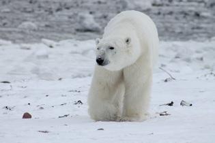 polar-bear-404317