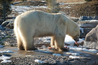 polar-bear-744277