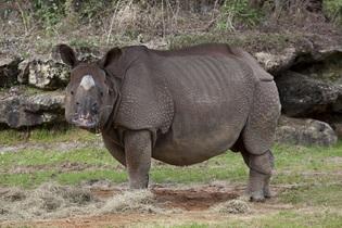 rhinoceros-743879