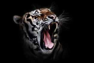 tiger-655593