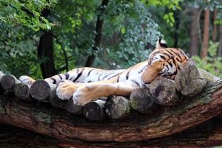 tiger-743721