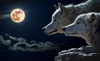 wolf-547203