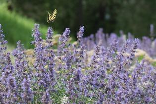 lavender-271982