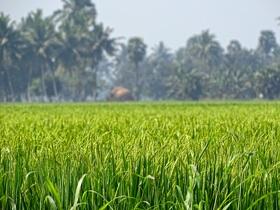 rice-grass-741546