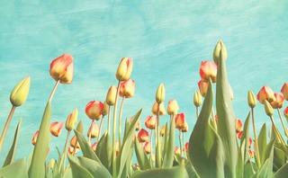 tulips-293610