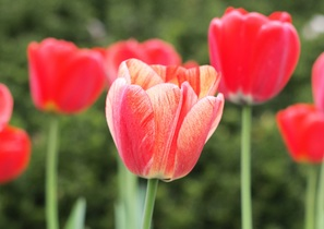 tulips-744288
