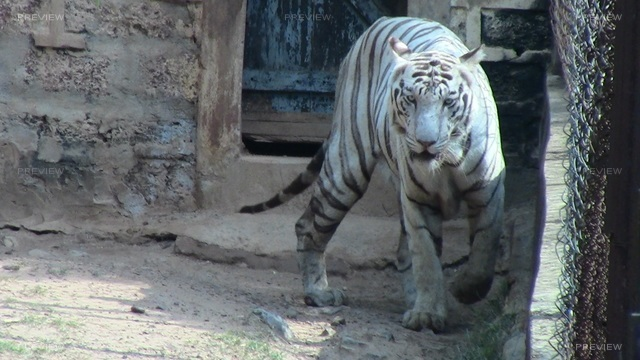 white-tiger-741139