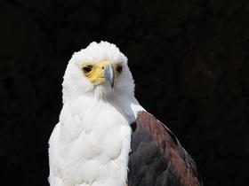 bald-eagle-744334