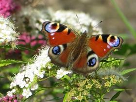 butterfly-657405
