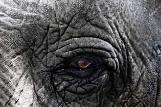 elephant-627886