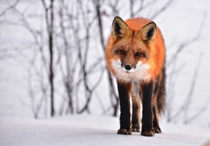 fox-710454