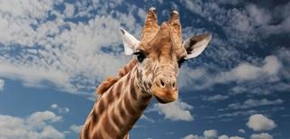 giraffe-614141