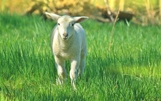 lamb-739169