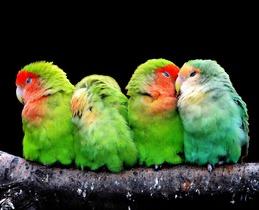 parrots-277093