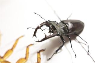 stag-beetle-591145