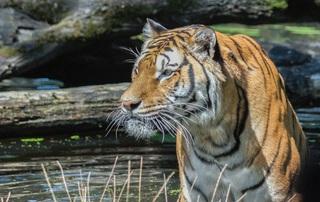 tiger-741692