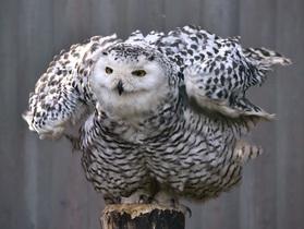 owl-727586