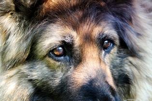 schafer-dog-350669