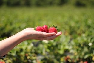 strawberries-484272