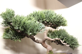 bonsai-tree-738463