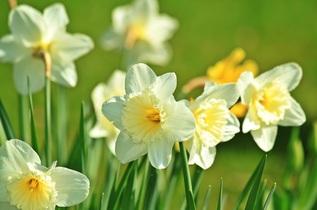 daffodil-733877