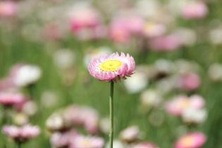 flower-418375